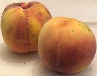 Rochester peach