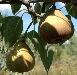 Tyson pears