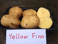 Yellow Finn